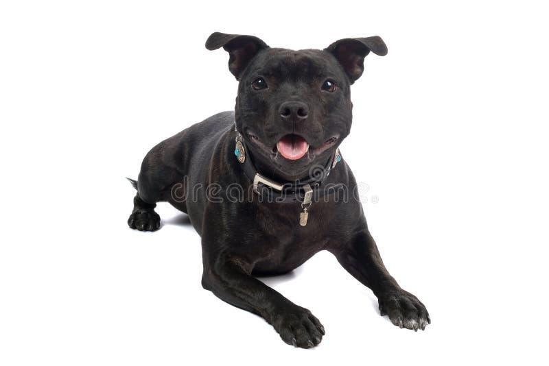 Terrier de Staffordshire Bull foto de archivo libre de regalías