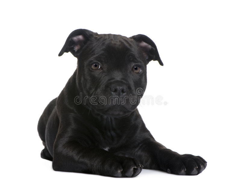 Terrier de Staffordshire Bull del perrito (2 meses) fotografía de archivo