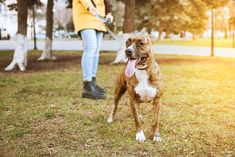 Terrier de Staffordshire para uma caminhada no parque Atrás de é uma menina que guarda um cão em uma trela fotos de stock royalty free