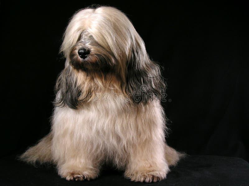 Terrier de Tibetian imagem de stock