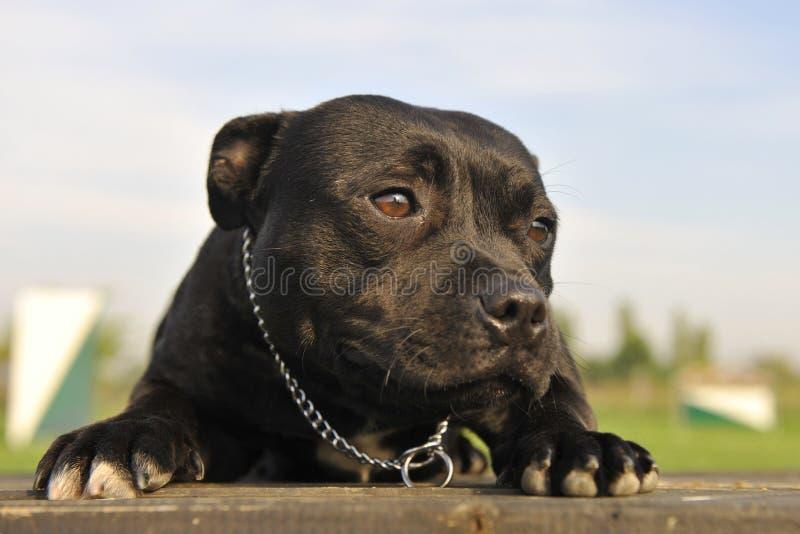 Terrier de toro de Staffordshire fotos de archivo libres de regalías