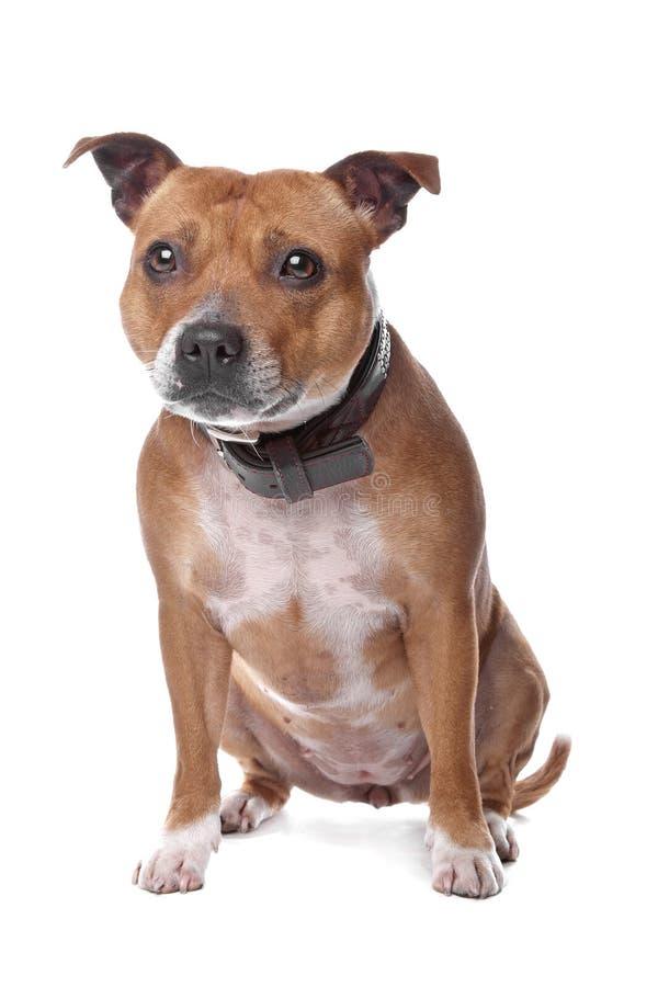 Terrier de touro inglês de Staffordshire fotos de stock royalty free