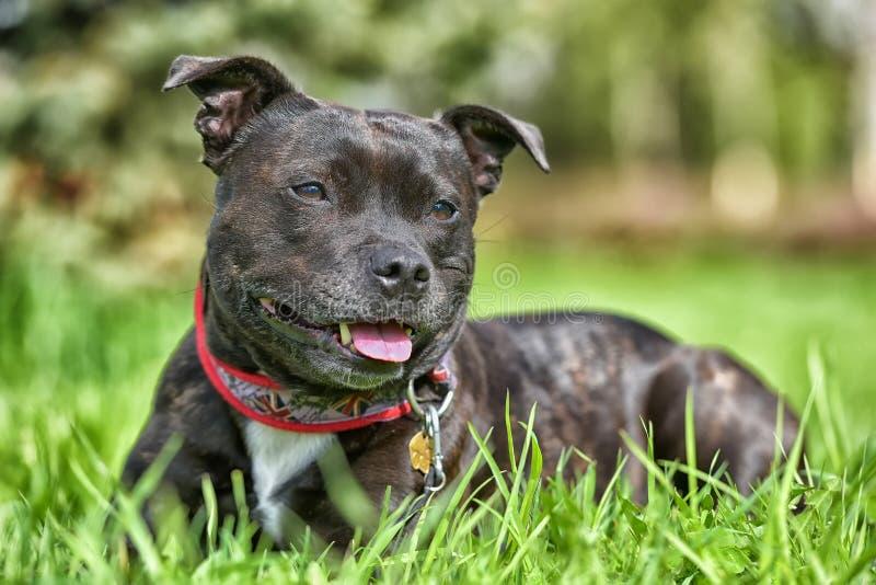 Terrier de touro inglês de Staffordshire imagem de stock royalty free