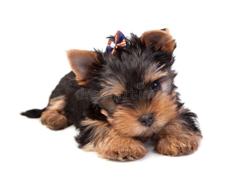 Download Terrier de Yorkshire imagem de stock. Imagem de preto - 16864189