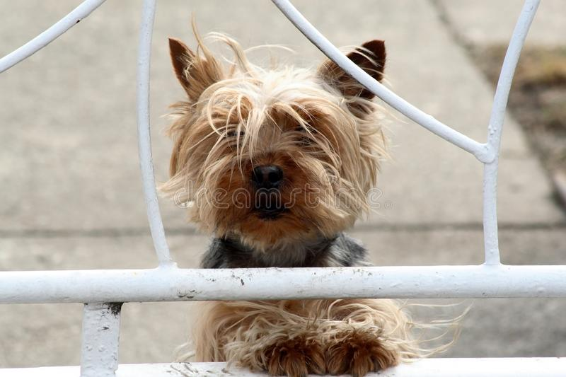 Terrier de Yorkshire fotos de stock royalty free
