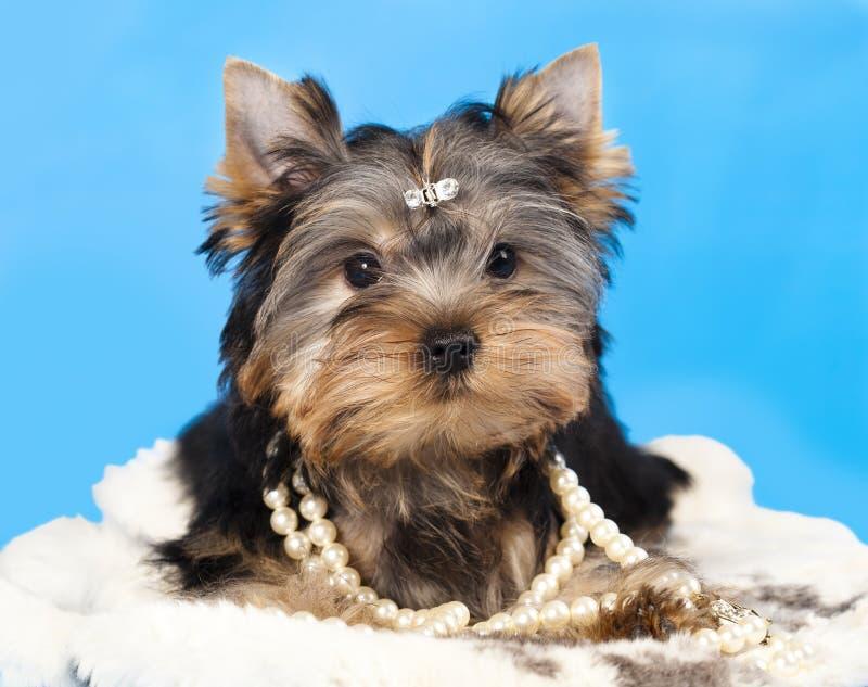 Terrier de Yorkshire foto de stock royalty free