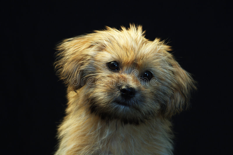 Terrier de Yorkshire 3 fotografia de stock royalty free