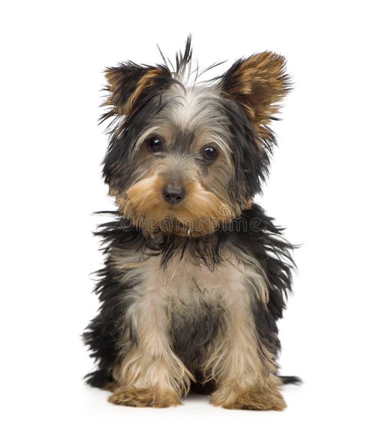 Terrier de Yorkshire (3 meses) imagens de stock royalty free