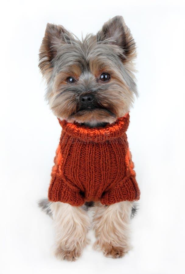 Terrier de yorkshire bonito na roupa do inverno fotos de stock royalty free