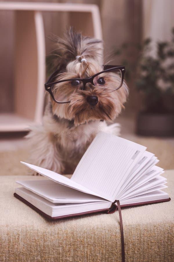 Terrier de Yorkshire con su pata encima de los vidrios que llevan del libro fotos de archivo libres de regalías