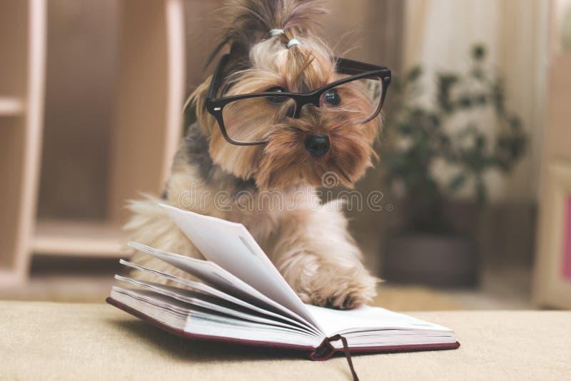 Terrier de Yorkshire con su pata encima de los vidrios que llevan del libro imagen de archivo