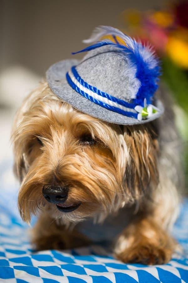 Terrier de Yorkshire con un sombrero bávaro foto de archivo