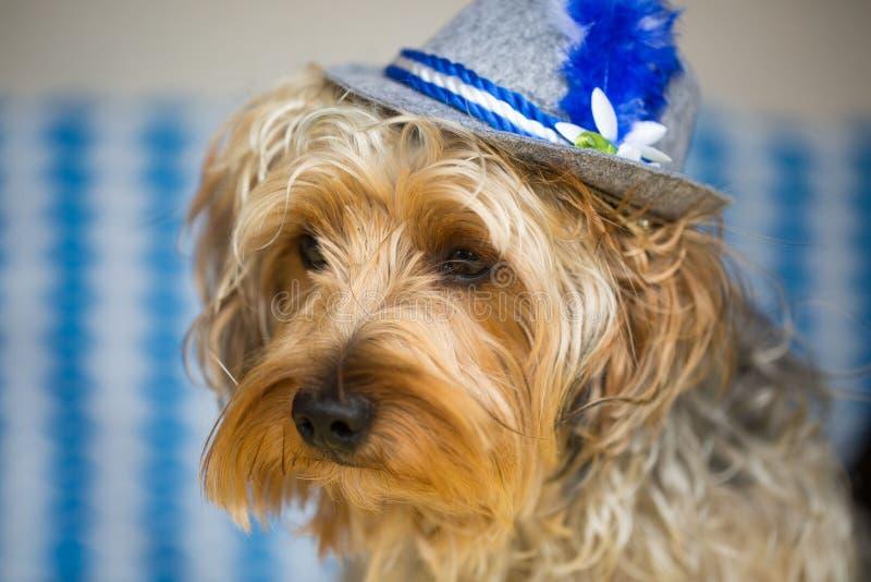 Terrier de Yorkshire con un sombrero bávaro imágenes de archivo libres de regalías