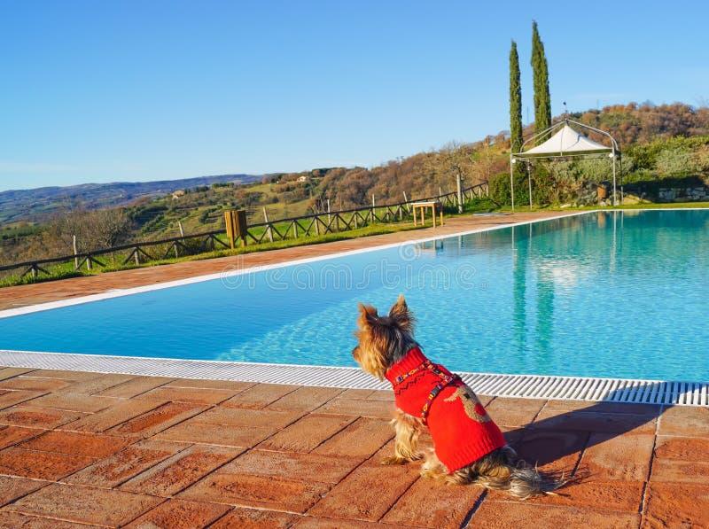 Terrier de Yorkshire dans Tuscana Italie photos stock