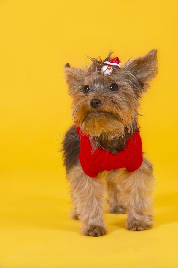 Terrier de Yorkshire de chien images libres de droits