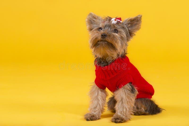 Terrier de Yorkshire de chien photos stock
