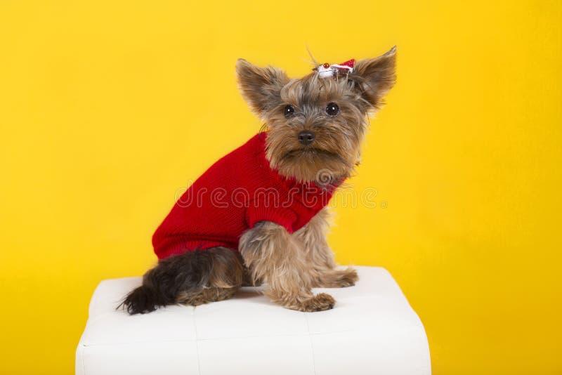 terrier de Yorkshire de chien dans des vêtements photo stock