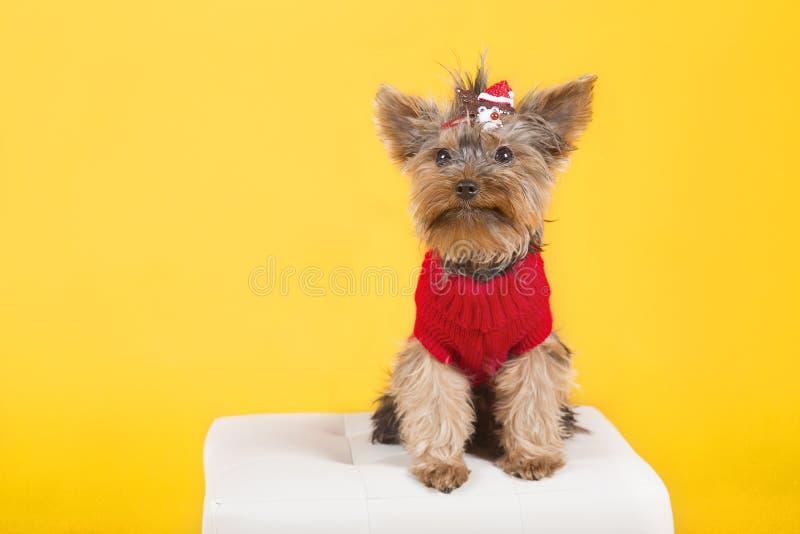 Terrier de Yorkshire de chien dans des vêtements photos stock