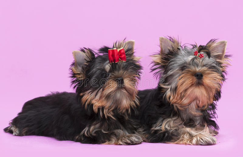 Terrier de Yorkshire de dois filhotes de cachorro foto de stock royalty free
