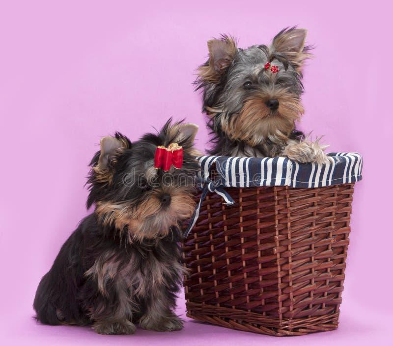 Terrier de Yorkshire de dois filhotes de cachorro fotos de stock royalty free