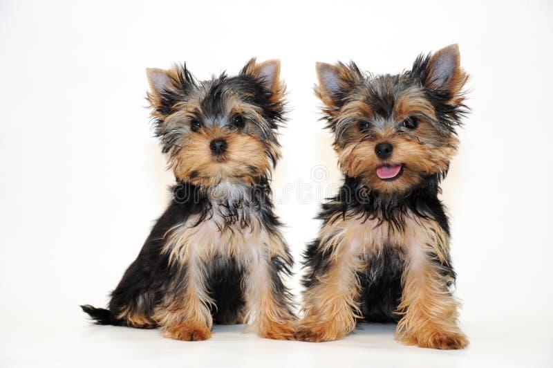 Terrier de Yorkshire de dois filhotes de cachorro foto de stock