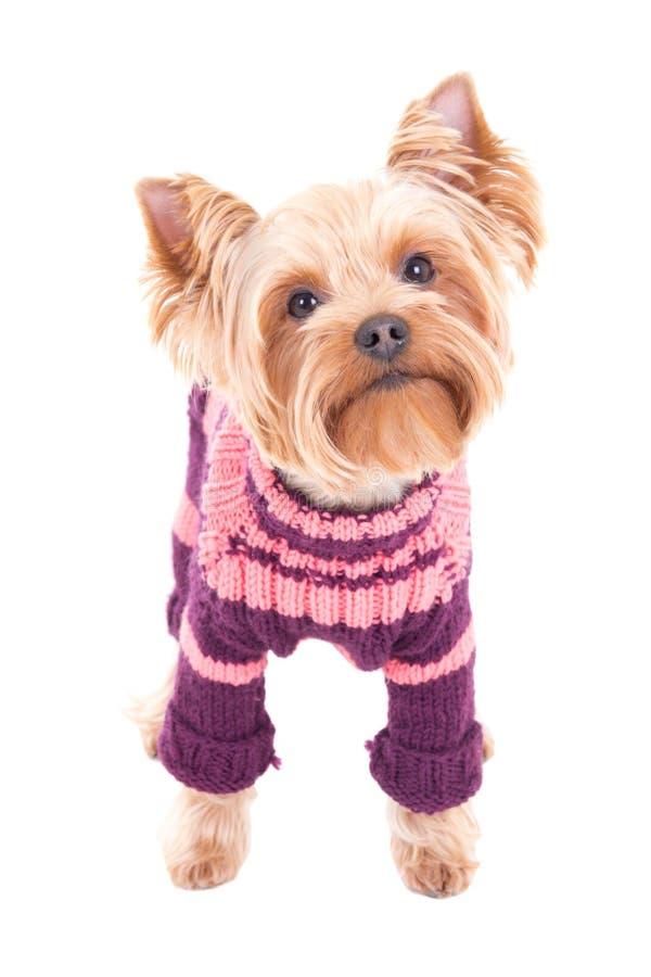 Terrier de Yorkshire de petit chien dans des vêtements d'hiver d'isolement sur le blanc photos libres de droits