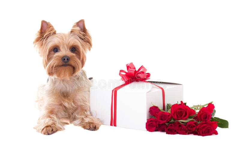 Terrier de Yorkshire de petit chien se trouvant avec le boîte-cadeau et l'OIN de fleurs photo stock