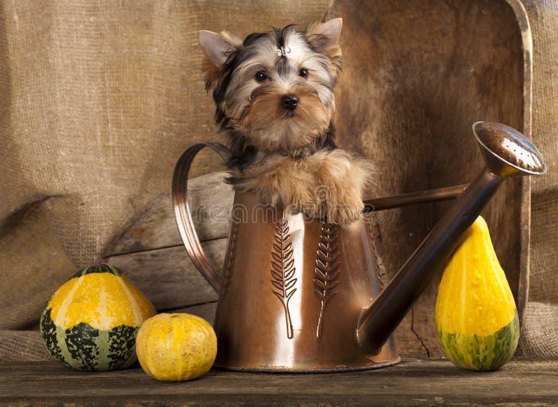 Terrier de Yorkshire dos filhotes de cachorro imagens de stock royalty free