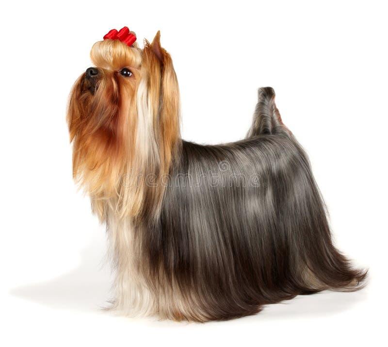 Terrier de Yorkshire hermoso imagen de archivo
