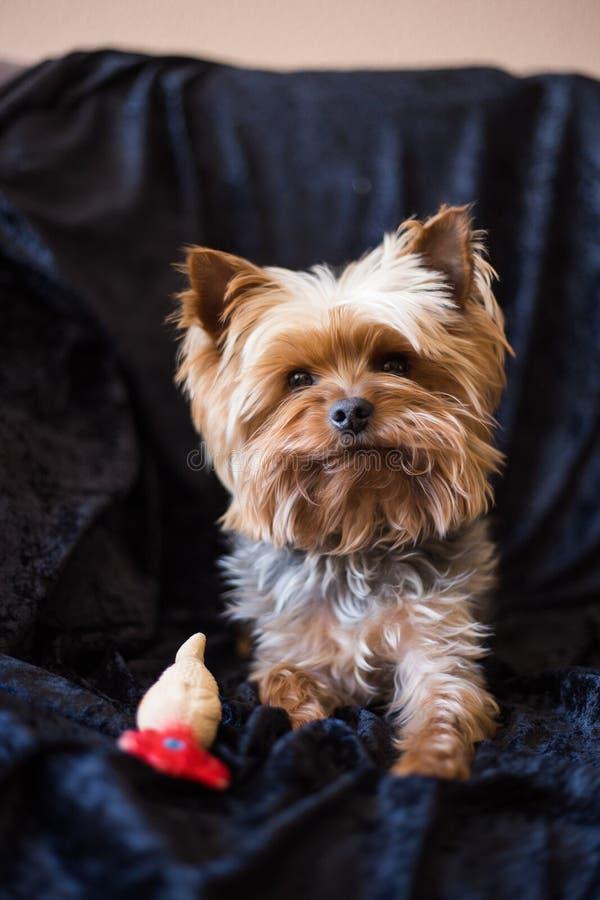 Terrier de Yorkshire hirsute avec le jouet sur le fond noir images stock