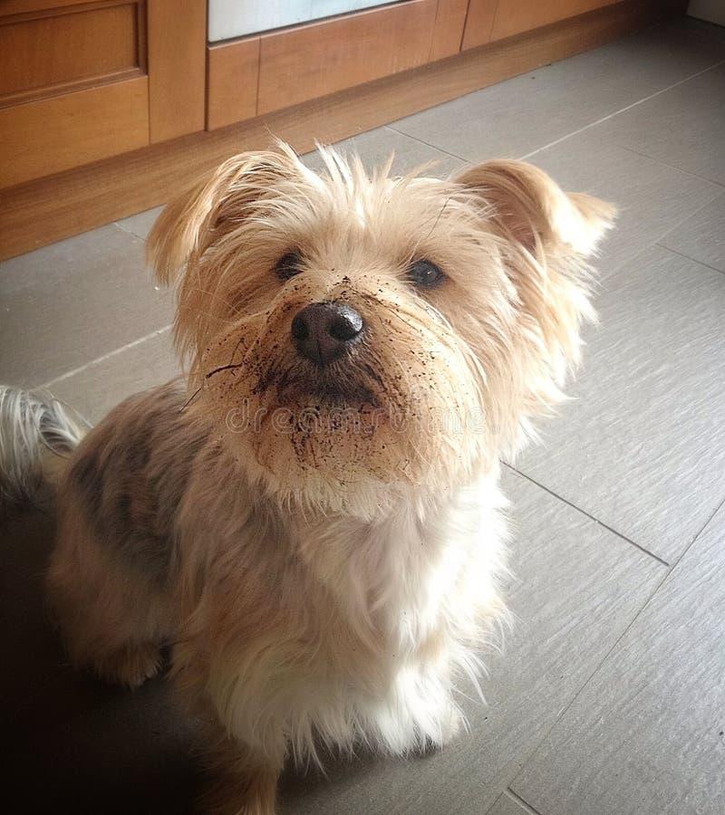 Terrier de Yorkshire lindo foto de archivo libre de regalías