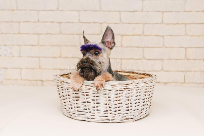 Terrier de Yorkshire lindo con las frentes violetas despu?s de preparar en la cesta blanca fotografía de archivo