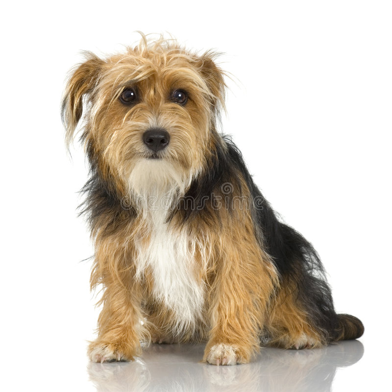 Terrier de Yorkshire novo fotos de stock