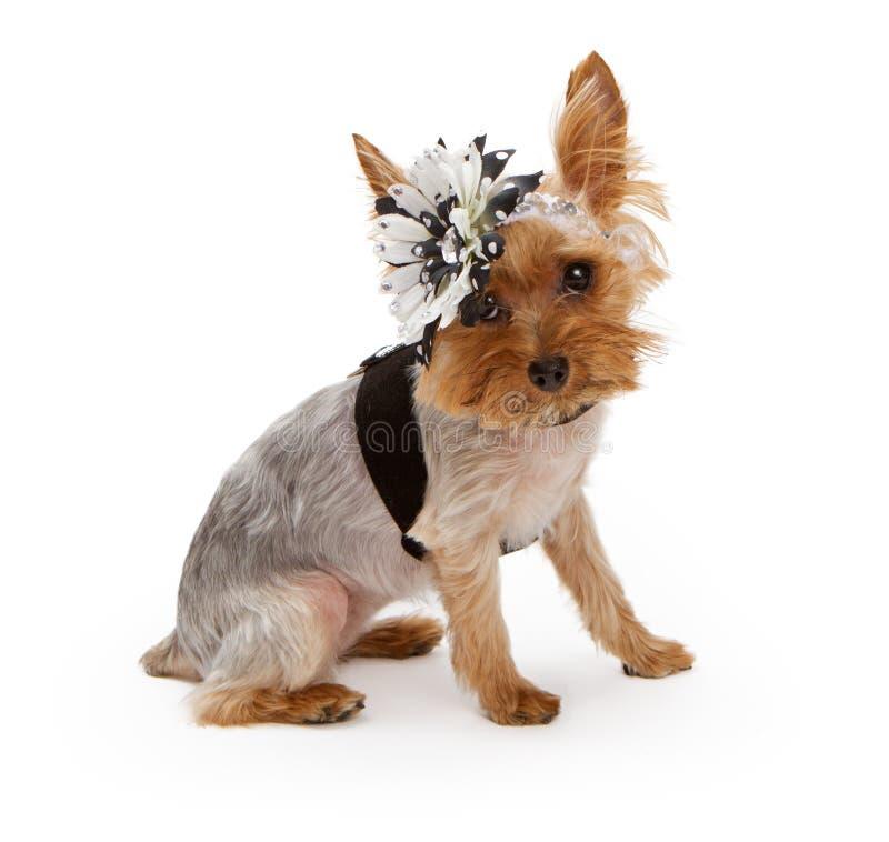 Terrier de Yorkshire que desgasta um headband da flor fotos de stock