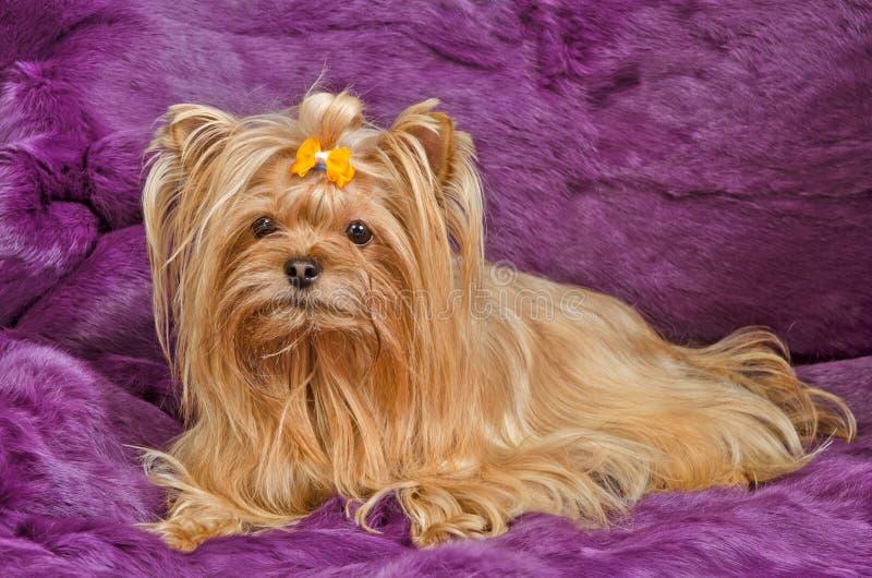 Terrier de Yorkshire que encontra-se de encontro às peles roxas foto de stock royalty free