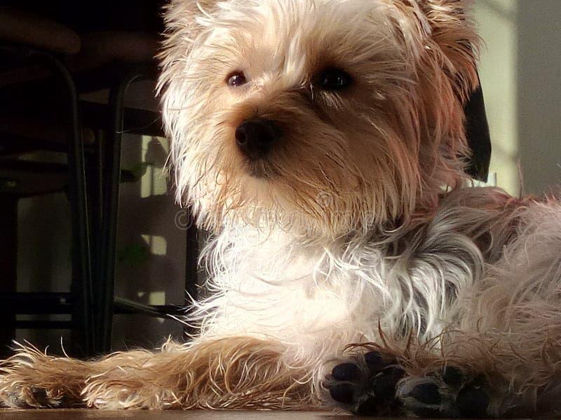 Terrier de Yorkshire que pone en el sol fotografía de archivo