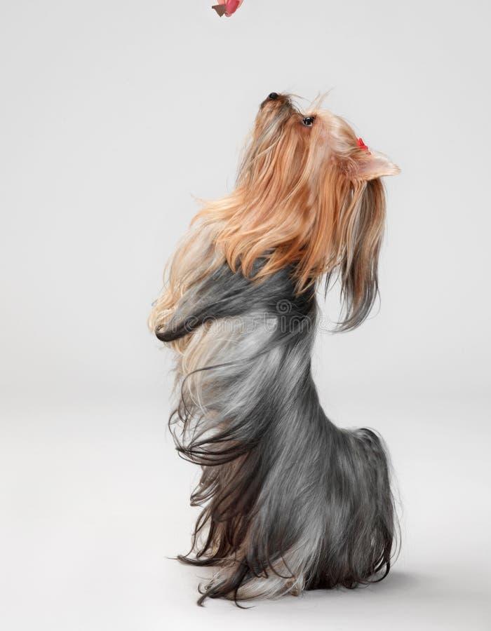 Terrier de yorkshire que se sienta foto de archivo libre de regalías