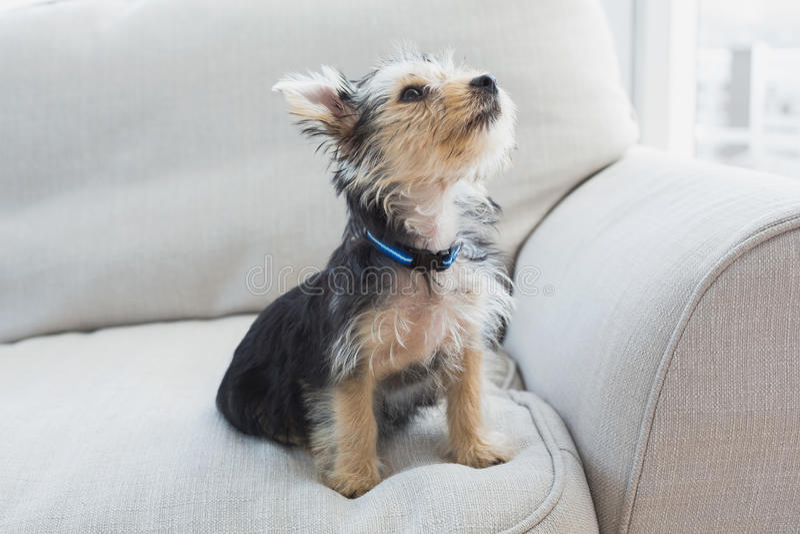 Terrier de Yorkshire que se sienta en el sofá fotografía de archivo libre de regalías