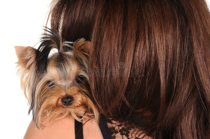 Terrier de Yorkshire que senta-se no ombro fotografia de stock