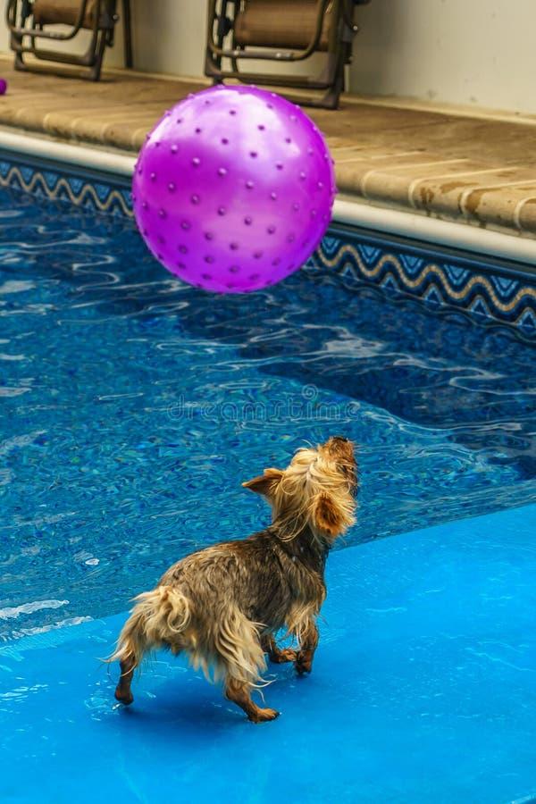 Terrier de Yorkshire, yorkies que juegan en la piscina con la bola fotos de archivo