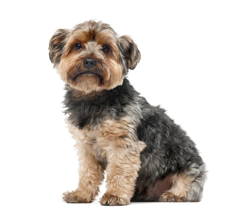 Terrier de Yorshire delante de un fondo blanco imagen de archivo libre de regalías