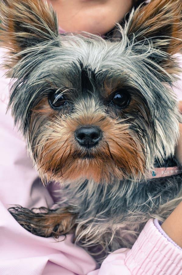 Terrier de Yorshire que mira la cámara, mientras que está sostenido en manos imágenes de archivo libres de regalías