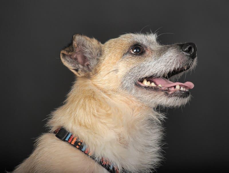 Terrier del híbrido en estudio imagenes de archivo