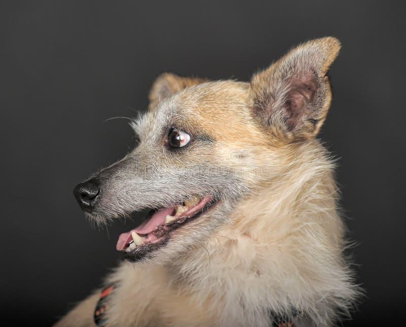 Terrier del híbrido en estudio foto de archivo libre de regalías