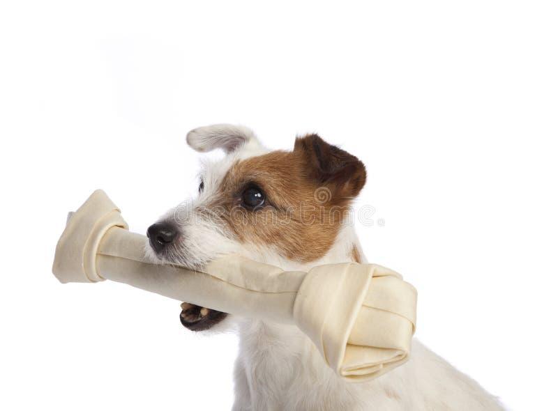 Terrier del Jack russell che tiene un osso immagini stock libere da diritti