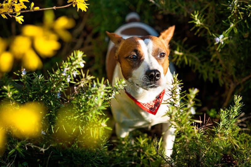 Terrier del Jack Russell del pastore che si siede in una sosta immagini stock