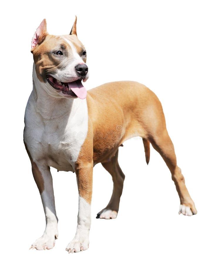 Terrier dello Staffordshire Bull immagine stock libera da diritti