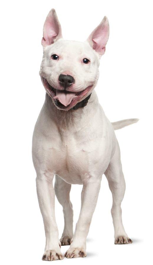 Terrier dello Staffordshire Bull, 4 anni immagine stock libera da diritti