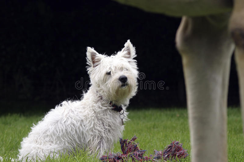 Terrier des montagnes occidental images libres de droits