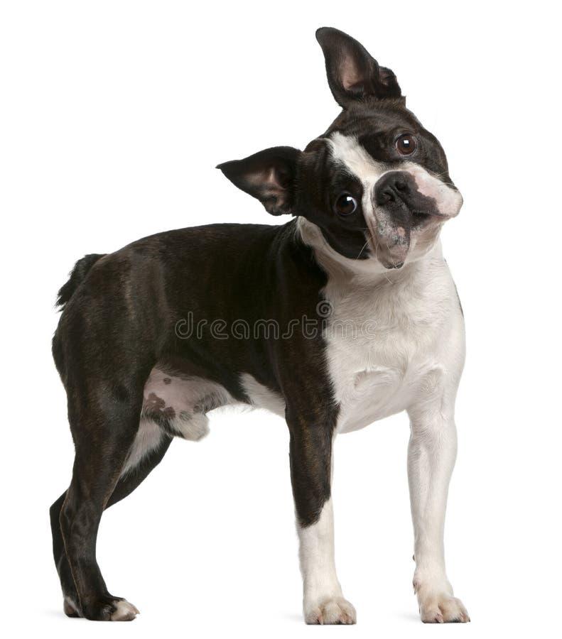 Terrier di Boston, 1 anno, levantesi in piedi fotografia stock